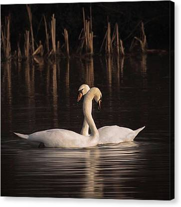 A Painting Of A Pair Of Mute Swans Canvas Print by John Edwards