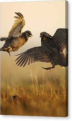 A Pair Of Prairie Chickens Face Canvas Print