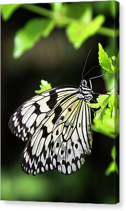 Canvas Print featuring the photograph A Paper Kite Butterfly On A Leaf  by Saija Lehtonen