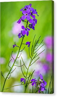Phlox Canvas Print - A Pastel Spring by Steve Harrington