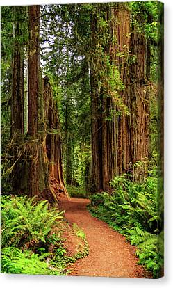 Canvas Print featuring the photograph A Path Through The Redwoods by James Eddy