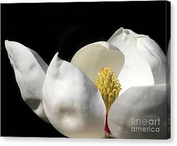 A Peek Inside A Magnolia Canvas Print by Sabrina L Ryan