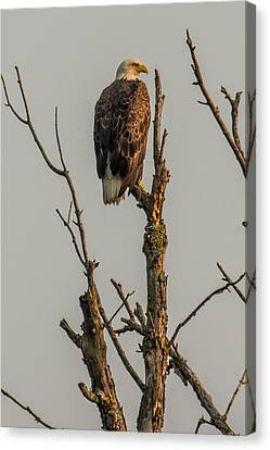 A Perched Bald Eagle Canvas Print by Paul Freidlund