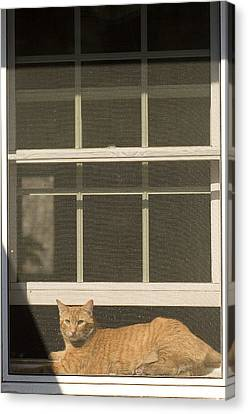 A Pet Cat Resting In A Screened Window Canvas Print by Charles Kogod