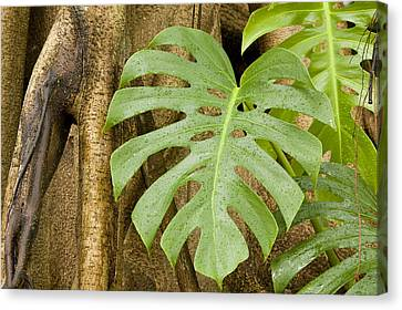 Philodendron Canvas Print - A Philodendron Grows On The Side by Tim Laman