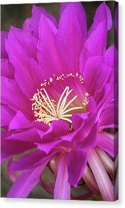 Canvas Print featuring the photograph A Pink Punch  by Saija Lehtonen