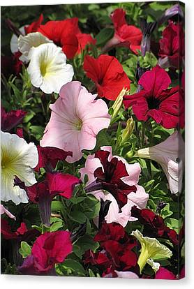 A Plethora Of Petunias Canvas Print