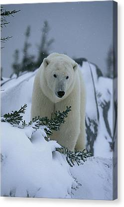 A Polar Bear In A Snowy, Twilit Canvas Print by Norbert Rosing