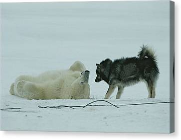 A Polar Bear Lolls On His Back While Canvas Print by Norbert Rosing