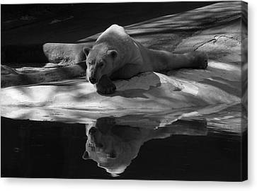A Polar Bear Reflects Canvas Print by Karol Livote