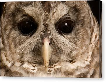 A Portrait Of A Barred Owl Strix Varia Canvas Print by Joel Sartore