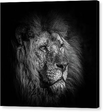 A Portrait Of A Lion Gazing Into The Distance Canvas Print by Andrew White
