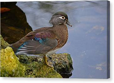 A Pretty Female Painted Wood Duck Canvas Print by Judy Wanamaker