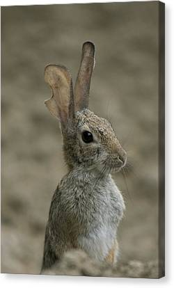 A Rabbit From The Omaha Zoo Canvas Print by Joel Sartore