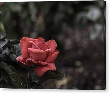 A Red Beauty Canvas Print by Ed Clark