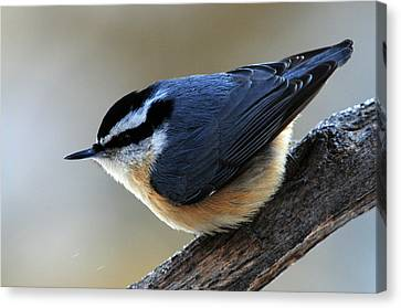 A Red-breasted Nuthatch Canvas Print