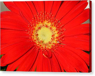 Canvas Print featuring the photograph A Red Explosion by Sheila Brown