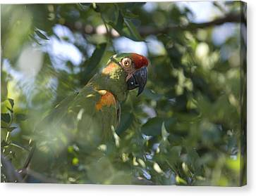A Red-fronted Macaw At The Sedgwick Canvas Print by Joel Sartore
