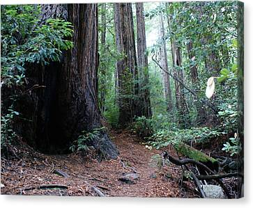 A Redwood Trail Canvas Print by Ben Upham III