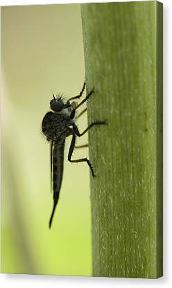 A Robber Fly Asilidae Rests On A Leaf Canvas Print by Joel Sartore