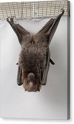 A Rodrigues Fruit Bat Pteropus Canvas Print by Joel Sartore