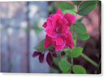 A Rose And A Hard Place Canvas Print