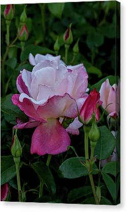 A Rose Garden Awakens Canvas Print