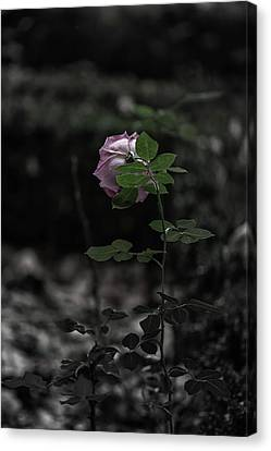 A Rose In The Dark Canvas Print