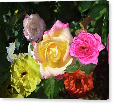 A Rose Of A Different Color Canvas Print