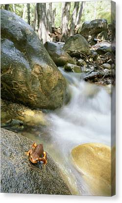 A Rough-skinned Newt Sits On A Rock Canvas Print by Rich Reid