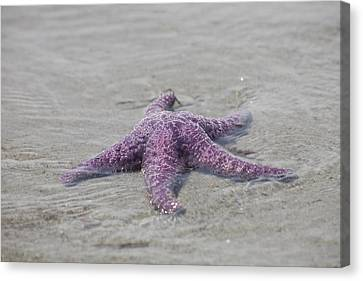 A Sea Star Lies In The Surf In The Gulf Canvas Print by Taylor S. Kennedy