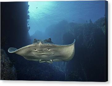A Short-tailed Stingray Swimming In An Canvas Print by Brian J. Skerry