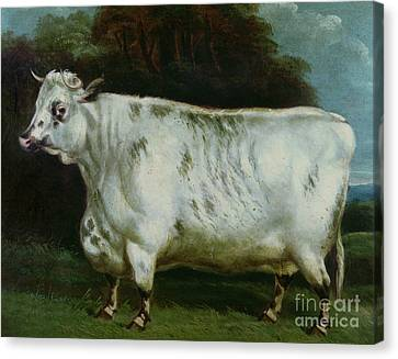 A Shorthorn Cow Canvas Print by English School