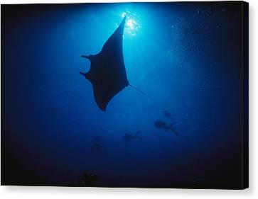 A Silhouetted Manta Ray Swims In Deep Canvas Print by Raul Touzon