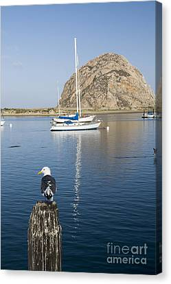 A Single Seagull And Morro Rock Canvas Print by Rita Kapitulski