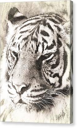 A Sketchy Tiger Canvas Print by Clare Bevan