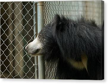 A Sloth Bear Melursus Ursinusat Canvas Print by Joel Sartore