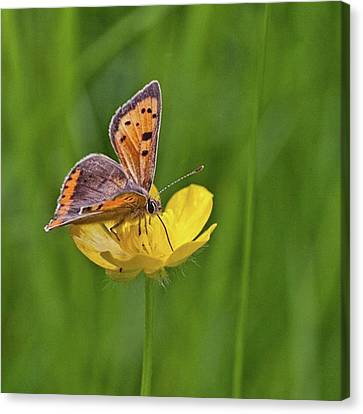 A Small Copper Butterfly (lycaena Canvas Print by John Edwards