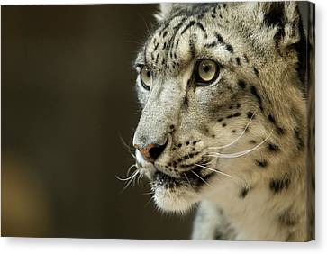 Henry Doorly Zoo Canvas Print - A Snow Leopard At Omahas Henry Doorly by Joel Sartore