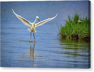A Snowy Egret Dip-fishing Canvas Print