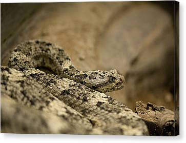 Henry Doorly Zoo Canvas Print - A Speckled Rattlesnake At The Henry by Joel Sartore