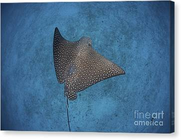 A Spotted Eagle Ray Swims Canvas Print
