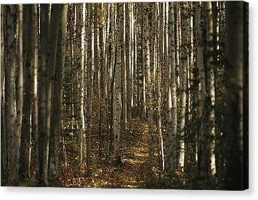 A Stand Of Birch Trees Show Canvas Print by Raymond Gehman