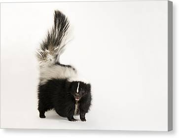 A Striped Skunk, Mephitis Mephitis Canvas Print by Joel Sartore