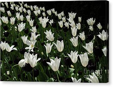 A Study In Black And White Tulips Canvas Print