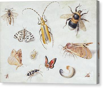 Nature Study Canvas Print - A Study Of Butterflies And Other Insects by Jan Van Kessel the Elder