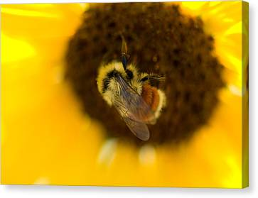 A Sunflower And Bumble Bee In Eastern Canvas Print by Joel Sartore