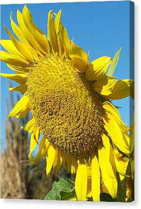 Canvas Print featuring the photograph A Sunny Hello by Sandy Collier