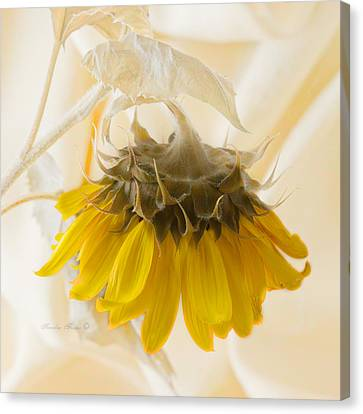 A Suspended Sunflower Canvas Print