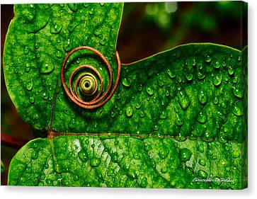 A Tendril Coil Canvas Print by Christopher Holmes